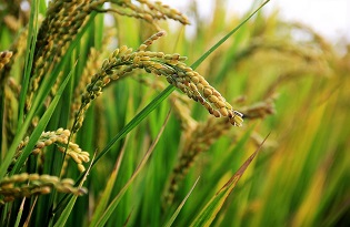 imagem do post do Fatores ambientais podem causar mais alterações nas plantas do que a engenharia genética